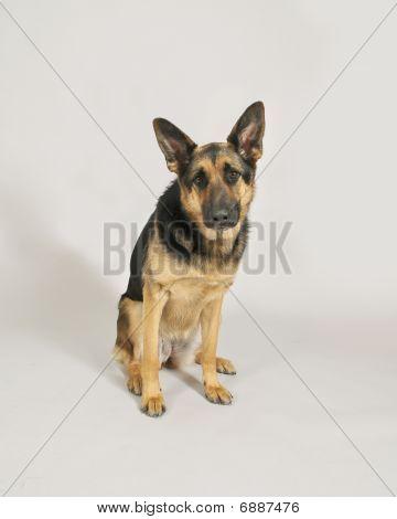 German Sheperd Dog