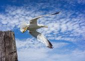 White seagull takes off with a wooden pillar against the blue sky and clouds poster