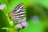 Close up white butterfly with black stripes and tail orange eating nectar on the flowers of grass in Thailand Club Silverline or Spindasis syama terana poster