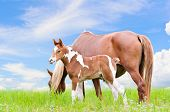 Mare and foal with white brown graze in the pasture on blue sky background poster