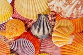 collection of various colorful seashells - macro poster