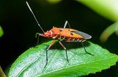 Red Cotton Bug (Dysdercus cingulatus) Close-up on a green leaf poster