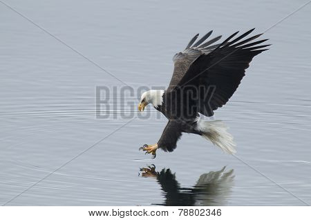 Eagle Reaches For Fish.