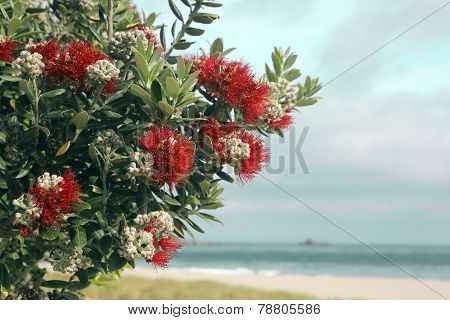 Pohutukawa tree red flowers sandy beach