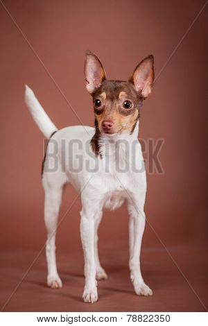 Toy fox terrier on brown