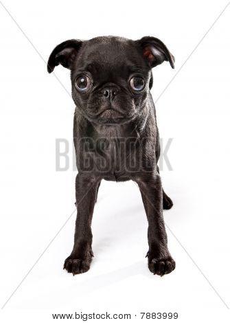 Black Pug Puppy
