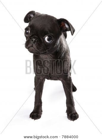 Black Pug Puppy Tilting Head