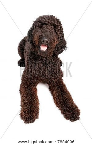 Golden Doodle Dog Laying Down
