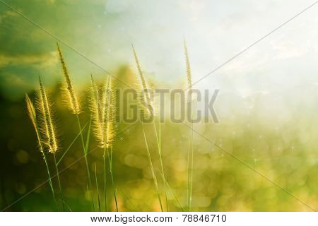 Pampas Grass  Field Against Sunlight