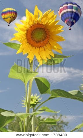 Sunflower with two Hot Air Balloons in the background