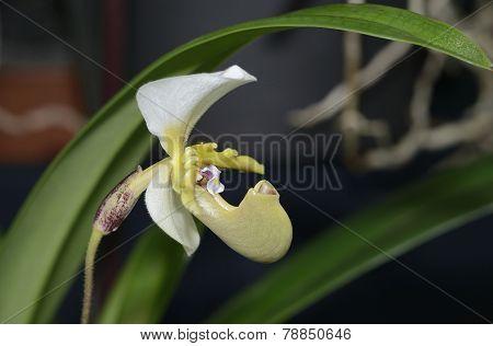 Spicer's Paphiopedilum Orchid
