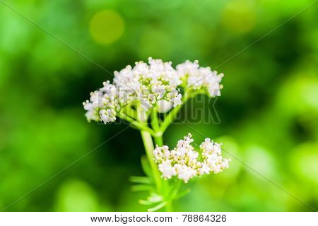 White Valeriana Flower On Green Blurred Background, Closeup