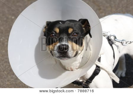 Small Dog Wearing A Cone