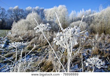 Beautiful Winter Time Hoarfrost On Plants