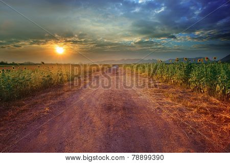 Landscape Of Rural Road Perspective To Sunflower Farm Field With Beautiful Light Of Sun Set Time Use