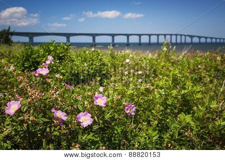 Closeup of wild rose flowers at New Brunswick, Canada coast with Confederation Bridge in background