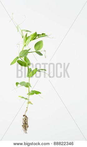 Bright Green Pea Plant