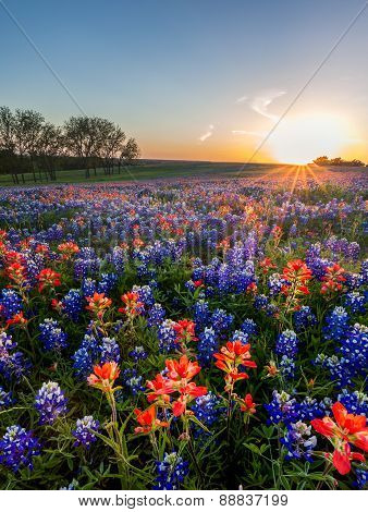 Bluebonnet And Indian Paintbrush Wildflowers Filed, Texas
