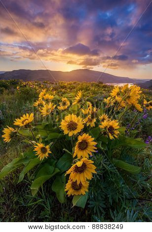 beautiful sunrise and wildflowers in Columbia river gorge Oregon poster