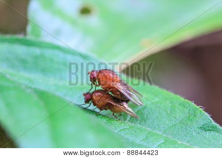 breeding Blow fly