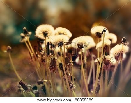 Fluffy blowball - dandelion seeds