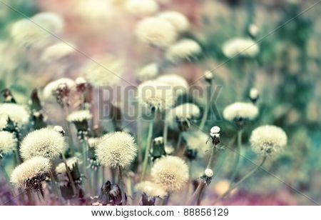 Dandelion seeds (fluffy blowball)