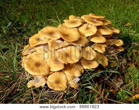 Troop of mature Honey Fungus growing in an orchard poster