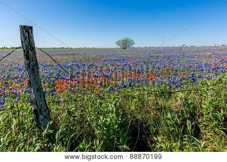 A Beautiful Field Blanketed With The Famous Texas Bluebonnet and Indian Paintbrush Wildflowers