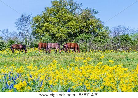 A Texas Field Covered witgh Cut Leaf Groundsel (Packera tampicana) and Horses