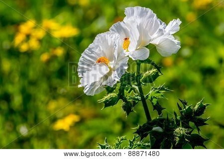 Wild White Poppies with Several Texas Yellow Wildflowers