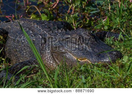 Big Wild Alligator on the Bank of a Texas Lake