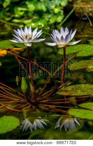 A Pair of Tropical White Water Lily Flower