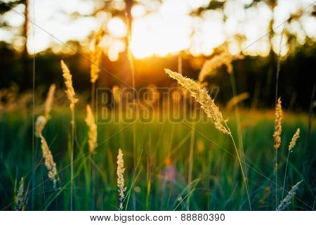 Dry Red Grass Field Meadow