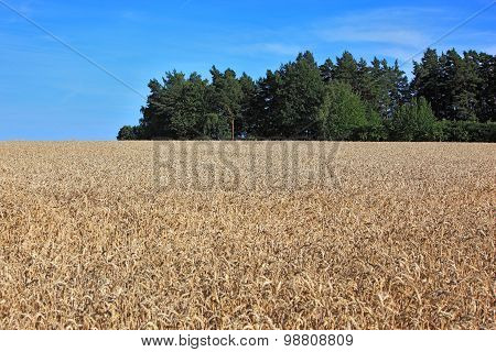 ripe wheatfield in summer as a background
