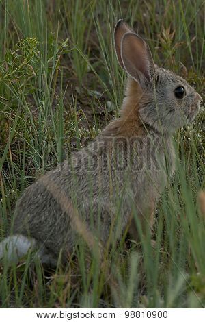 Baby Bunny In Grass
