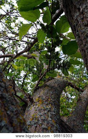 Immature Mulberries