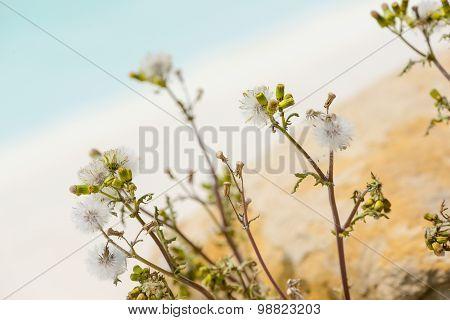 Asteraceae or Compositae flower plant at pool side