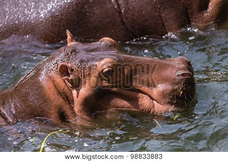 Hippopotamus mammals and herbivorous. Originated in Africa poster