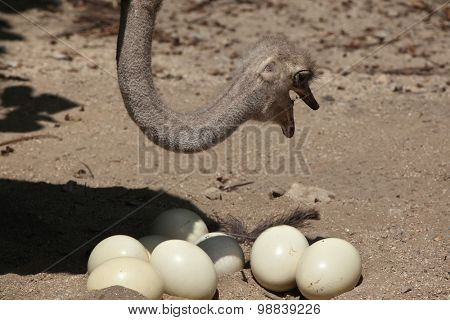 Ostrich (Struthio camelus) inspects its eggs in the nest. Wild life animal.