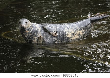 Grey seal (Halichoerus grypus), also known as the Atlantic seal. Wild life animal.
