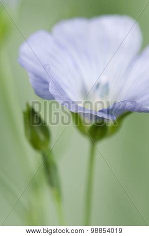 Flax (línum Usitatíssimum) Flowers