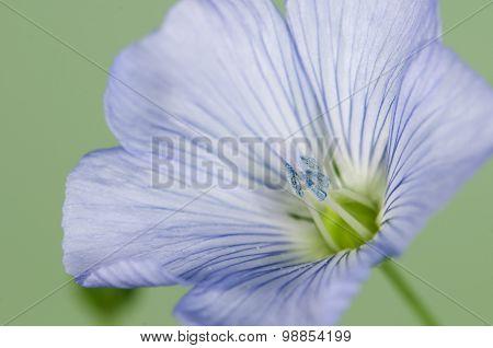 Flax (linum Usitatissimum) Flowers