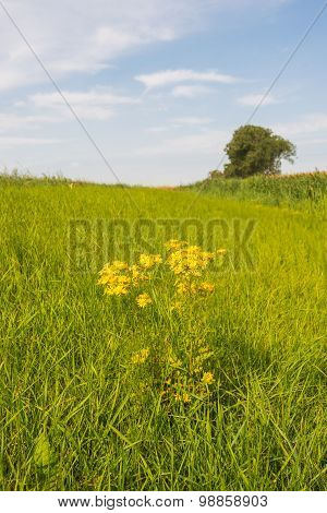 Yellow Flowering Tansy Ragwort Between The Grass