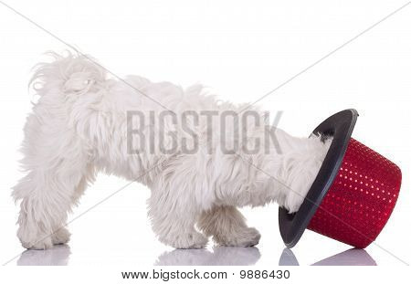 picture of a bichon maletese with it's head in a show hat poster