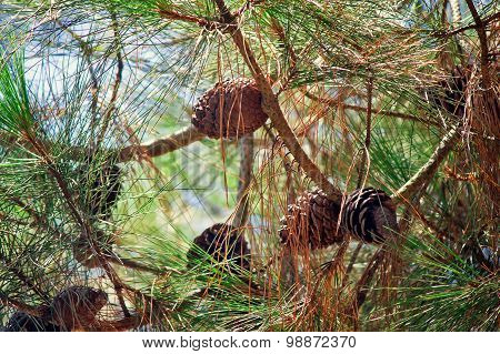 Pine Branches With Cones And Pine Needles Against The Sky