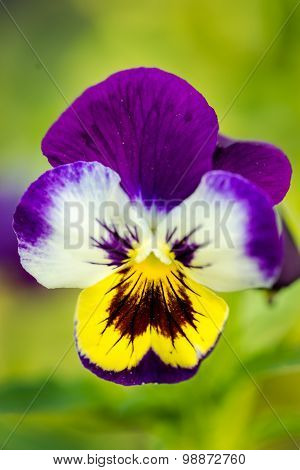 Heartsease Close-up. Selective Focus (shallow Depth Of Field).