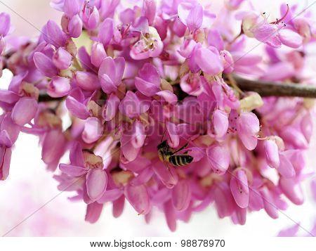 Judas Tree Spring Flowering.