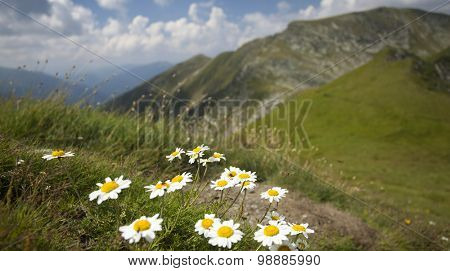 Daisies and wild flowers with rocky mountains in background