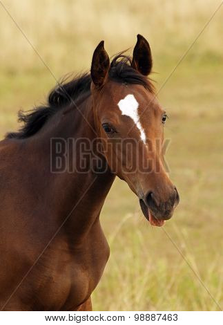 Portrait of beautiful bay filly