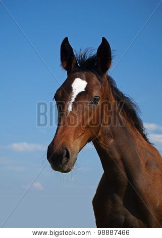 Portrait of bay filly
